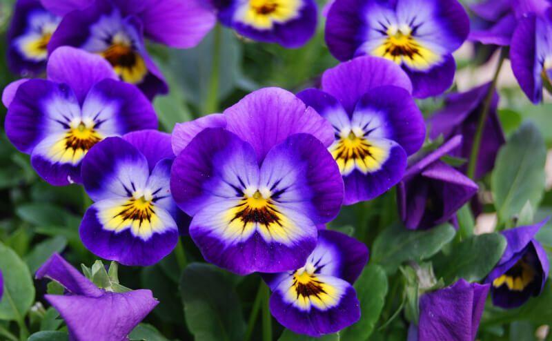 February – Viola