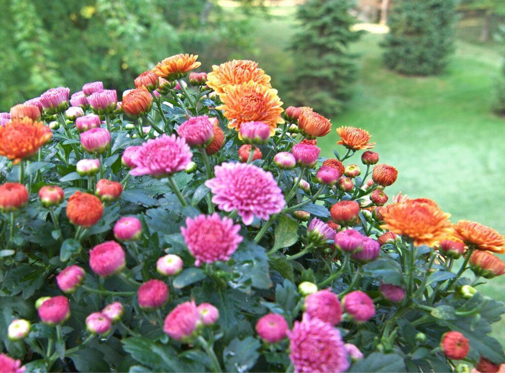 November – Chrysanthemum