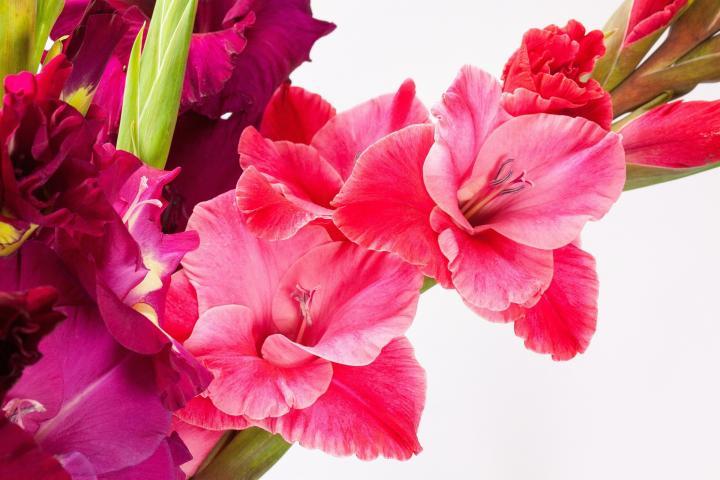 August – Gladiolus