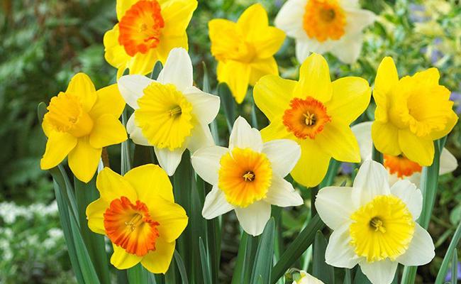 March – Daffodils
