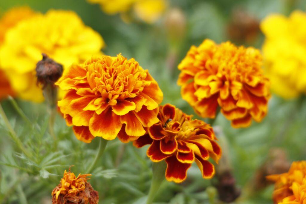October – Marigold