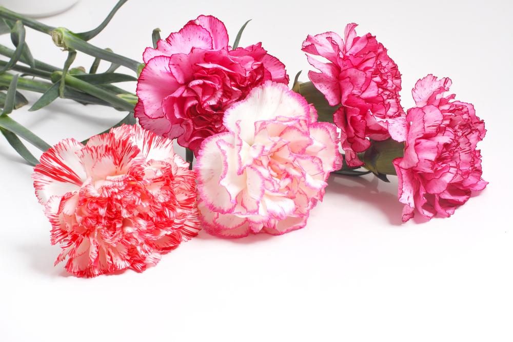 January – Carnation