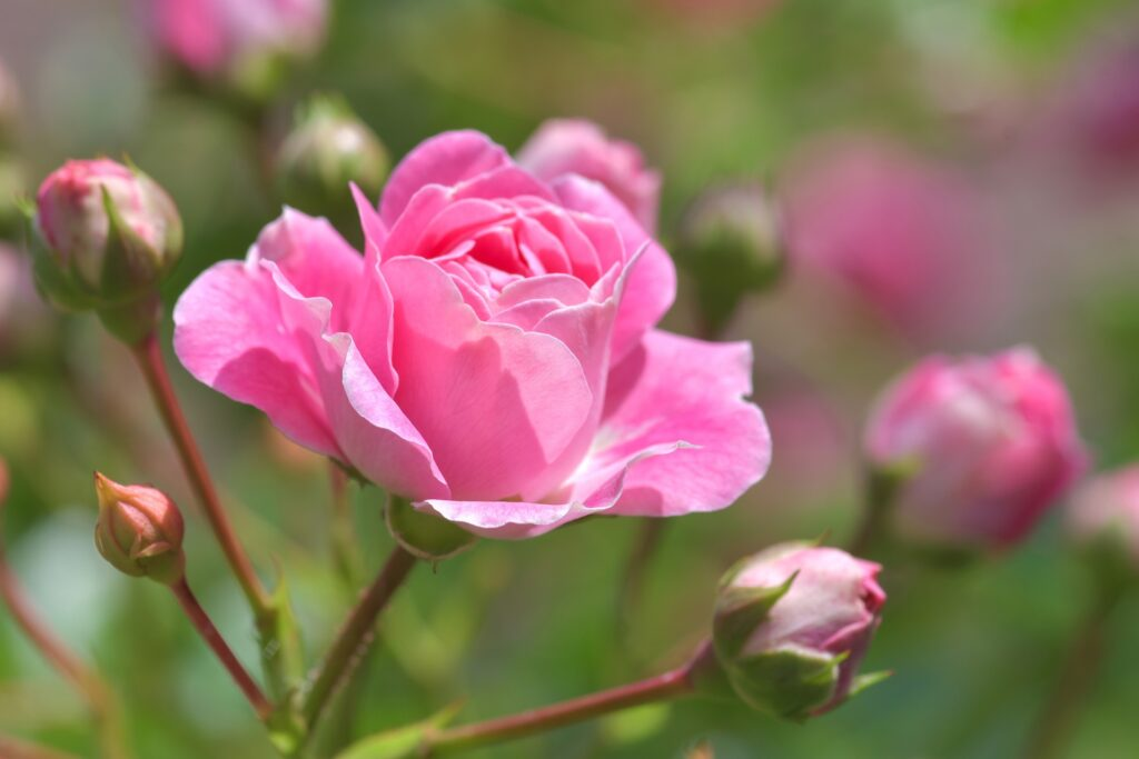 June – Rose