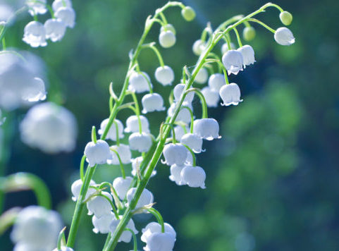 May – Lily of the valley